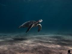 Honu in shallows HDR (Aaron Lynton) Tags: christmas xmas hawaii pacific turtle clear hawaiian honu greenseaturtle