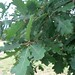 "Quercus cerris L., Fagaceae • <a style=""font-size:0.8em;"" href=""http://www.flickr.com/photos/62152544@N00/6596753713/"" target=""_blank"">View on Flickr</a>"
