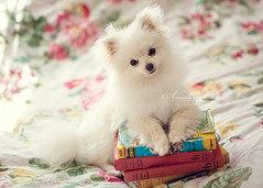 Koda, keeping my books safe ({amanda}) Tags: macro cute canon vintage puppy pom naturallight books 100mm pomeranian puffball windowlight koda amandakeeysphotography 5dmk2