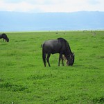 "Wildebeest <a style=""margin-left:10px; font-size:0.8em;"" href=""http://www.flickr.com/photos/14315427@N00/6605163423/"" target=""_blank"">@flickr</a>"