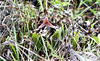 Dracula platycrater (Rchb. f.) Luer (PenduSeb - 2670m) Tags: plantas dracula orquideas mesopotamia antioquia insitu altoguayaquil