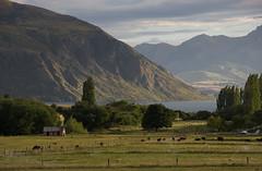 Farming land, Lake Wanaka (Ian@NZFlickr) Tags: lake bravo cattle cows sheep farm nz otago wanaka irrigation
