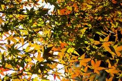 Momiji (Oxygen_JP) Tags: autumn fall japanese leaf sigma momiji sd10 foveon