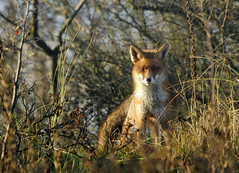 Good morning Red Fox (Wouter's Wildlife Photography) Tags: nature wildlife ngc mammals vos redfox vulpesvulpes zoogdier supershot westduinpark mygearandme mygearandmepremium mygearandmebronze ringexcellence blinkagain dblringexcellence tplringexcellence eltringexcellence explorejanuary10th2012