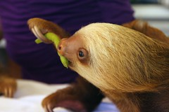 baby 2 toed  sloth from the buttercup center (gruntpig) Tags: rescue costa baby cute wet smile face animal america mammal nose eyes costarica slow head eating central young bowl rica eat greens sloth sanctuary vegatable bulging vegatables