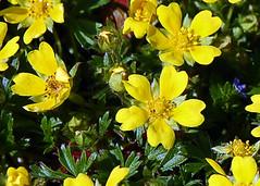 Fingerkraut, Frhlings-_I_DSC_0009-2 (schaefer_rudolf) Tags: natur pflanze gelb blte rosaceae frhlingsfingerkraut rosengewchs potentilla neumanniana tabernaemontani