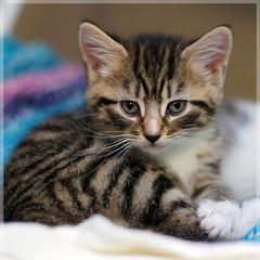 Jazz's kitten (hehaden) Tags: rescue cat kitten tabby kitty shorthaired bestofcats catnipaddicts