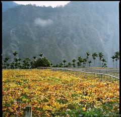 Vineyard (Chieh-Yu) Tags: film taiwan hasselblad   nantou shinyi   facebookimpro