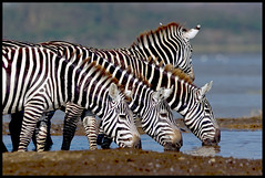 Drinking in Peace! (MAC-Kenya) Tags: kenya zebras autofocus drinkingwater naturesfinest lakenakurunationalpark specanimal goldwildlife canon300mmf28isl naturesgreenpeace canoneos1dmkiv mothernaturesgreenearth hganimalsonly mackenya allnaturesparadise amazingwildlifephotography bbng allofnatureswildlifelevel1 allofnatureswildlifelevel2 allofnatureswildlifelevel3 allofnatureswildlifelevel4 allofnatureswildlifelevel5 allofnatureswildlifelevel8 allofnatureswildlifelevel6 allofnatureswildlifelevel7 allofnatureswildlifelevel9 allofnatureswildlifelevel10 photographyforrecreationclassic
