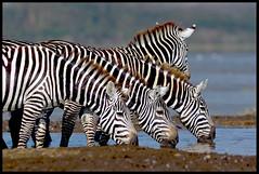 Drinking in Peace! (MAC's Wild Pixels) Tags: kenya ngc zebras autofocus drinkingwater naturesfinest lakenakurunationalpark specanimal goldwildlife naturesgreenpeace mothernaturesgreenearth hganimalsonly blinkagain allnaturesparadise amazingwildlifephotography bestofblinkwinners blinksuperstars bbng allofnatureswildlifelevel1 allofnatureswildlifelevel2 allofnatureswildlifelevel3 allofnatureswildlifelevel4 allofnatureswildlifelevel5 allofnatureswildlifelevel8 allofnatureswildlifelevel6 allofnatureswildlifelevel7 allofnatureswildlifelevel9 allofnatureswildlifelevel10 bestofsuperstars photographyforrecreationclassic macswildpixels