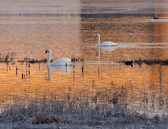 Floating in gold (Wilma1962*) Tags: winter reflection sunrise dawn swan frost ngc zwaan reflectie vorst ochtendgloren zonsopkomst dageraad mygearandme mygearandmepremium mygearandmebronze mygearandmesilver mygearandmegold mygearandmeplatinum mygearandmediamond