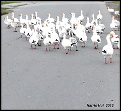 Traffic Will Be Blocked - Snow Geese X045e (Harris Hui (in search of light)) Tags: white canada birds vancouver walking square geese fuji bc walk richmond goose parade squareformat fujifilm migration pointshoot roadblock x10 snowgeese digitalcompact geesecrossing snowisgone goosewalk birdsincity paradeofbirds harrishui vancouverdslrshooter fujix10 fujixseriescamera snowgeeseisgonetoo trafficwillbeblocked
