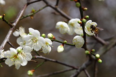 IMG_6069 (Sandor's Album) Tags: flowers flower blossom plum hsinchu taiwan       nationaltsinghuauniversity drmeimemorialgarden