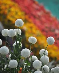 Bloom (Bhaskar Dutta) Tags: show flowers india white flower ball bokeh bangalore colourful lalbagh 2012