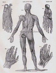 Human Anatomy Muscular System Posterior With Hands & Feet 1892 (SurrendrDorothy) Tags: chart man home illustration vintage antique science medical human engraving diagram anatomy decor anatomical medice surrenderdorothy surrenderdorothyetsyartfirezibbetoldreferencedrawing