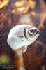 Fish Portrait (Lauren Barkume) Tags: africa blue vacation portrait fish color yellow silver southafrica aquarium december ct bubbles capetown spotted westerncape 2011 underwarter laurenbarkume gettyimagesmeandafrica1