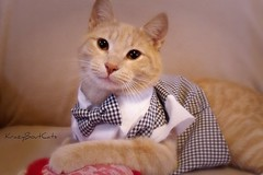 Handsome Valentine.. (KrazyBoutCats) Tags: cats pets animals heart kittens valentine felines cutekitty happyvalentiensday