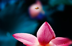 Pink Flower (The Dream Seeker.) Tags: pink flowers flower nature bug insect asia wasp bee honey pinkflower mygearandme