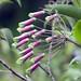Flora dopo Ocros (prov. Ayacucho) (8)