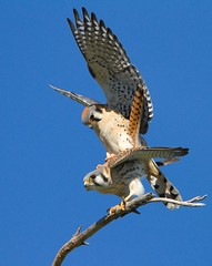AMERICAN KESTRELS (sea25bill) Tags: california morning blue winter sky birds mating falcons americankestrels