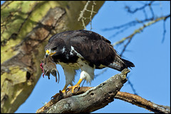 Augur Buzzard Preparing for Breakfast! (MAC's Wild Pixels) Tags: eagle kenya autofocus greatphotographers lakenakurunationalpark birdperfect naturesgreenpeace mothernaturesgreenearth onlythebestofnature allnaturesparadise amazingwildlifephotography allofnatureswildlifelevel1 allofnatureswildlifelevel2 allofnatureswildlifelevel3 allofnatureswildlifelevel4 allofnatureswildlifelevel5 allofnatureswildlifelevel8 allofnatureswildlifelevel6 allofnatureswildlifelevel7 allofnatureswildlifelevel9 macswildpixels