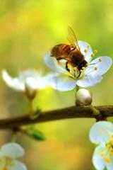 FEERIQUE PRINTEMPS ! (Gilles Poyet photographies) Tags: fleurs printemps abeille beaumont puydedôme autofocus aplusphoto creativemindsphotography artofimages mygearandme ringexcellence rememberthatmomentlevel1
