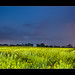 Rapsfeld zur Blauen Stunde / Rapeseed field during the blue Hour