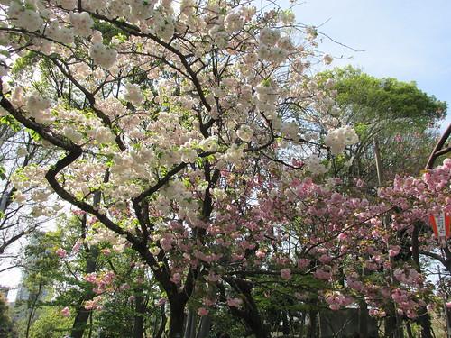 Sakuras (cerisiers en fleurs), Tokyo, Japon