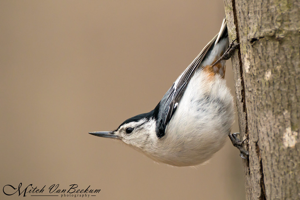 Hangin' Out (White-breasted Nuthatch)
