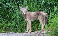 Coyote hunting breakfast (nickinthegarden) Tags: coyotes greatblueheronnaturereserve chilliwackbccanada