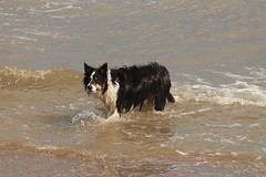Horsey Gap and Back (sharongellyroo) Tags: beach seaside norfolk tommy bordercollie wintertononsea
