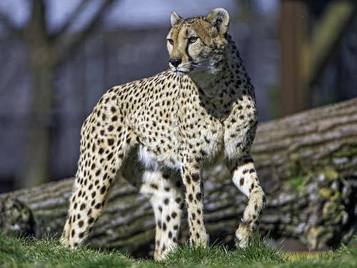 Cheetah about to walk