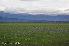marsh1 (ralphsplitter) Tags: county nature centennial geese canadian idaho marsh camas
