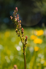IMG_9718 (Teekanne2) Tags: red summer flower green rot grass yellow blossom outdoor sommer gelb gras grn blume blte sorrel sauerampfer drausen