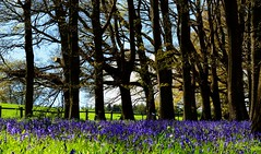 Trees & Bluebells. (lwts2000) Tags: trees woods shropshire bluebell hodnet