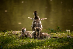 Drying - Egyptian Goslings (JTPhotography) Tags: baby cute sweet goose gosling