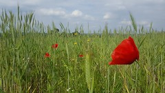 Poppies are out (didunn29) Tags: flowers countryside fields fantasticflower
