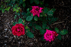DSC_0400 (pillarsoflight) Tags: pink flowers red flower green beauty oregon portland nikon adobe pdx 1855 pnw lightroom d3300