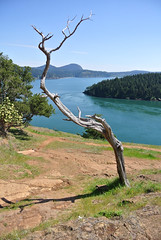 April Bicycle Camping day 5 - tree on the bluff (Spiral Cage) Tags: ferry april wa pugetsound orcasisland sanjuanislands anacortes ferries bicycletouring skagitvalley washingtonpark wastateferries springtour eastsound washingtonstateferries moranstatepark fidalgoisland bicyclecamping cyclotouring bayviewstatepark aprilbicyclecamping aprilbicyclecampingday5