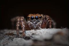 Jotus (GTV6FLETCH) Tags: macro canon spider eyes au australia nsw eyed manualfocus jumpingspider macrophotography salticidae focusstack mpe65mm spidereyes canonmpe65 jotus 5dmarkii 5d2 5dmii canoneos5dmark2 jotussp