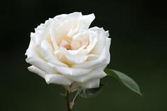 Summer Rose (ekaterina alexander) Tags: pictures flowers summer england flower nature rose photography sussex bloom alexander ekaterina