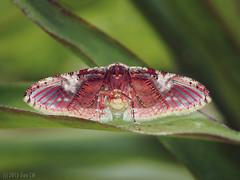Underside view of Rhodoneura acaciusalis, Thyrididae (Green Baron Pro) Tags: moth malaysia underside bukittinggi thyrididae siculodinae 201510 rhodoneurini
