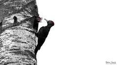 One for the series (Stefan Gerrits aka vanbikkel) Tags: finland espoo espoonkeskuspuisto puisto park centralpark canon5dmarkiii canonef500mmf4liiusm nature wildlife vanbikkel bird birds lintu black white bw blackwoodpecker dryocopusmartius woodpecker zwartespecht specht palokärki