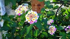 زهرة اللانتانا (nesreensahi) Tags: park flowers roses plants nature garden landscape lantana سوريا latakia اللاذقية سورية