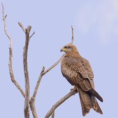 a black kite (Fat Burns  (on/off)) Tags: kite bird fauna hawk raptor milvusmigrans blackkite australianbird barcaldine australianfauna lagooncreek nikond610 sigma150600mmf563dgoshsmsports