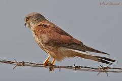Kestrel  (Falco tinnunculus) EXPLORED 25-05-2016 (Raed Shorrosh) Tags: