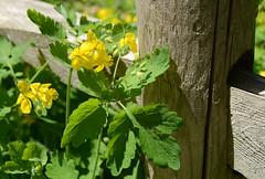 yellow flowers by the post (mcfcrandall) Tags: summer toronto flower yellow post path may rail ravine greatercelandine chelidonium beltlinetrail milkmanslane