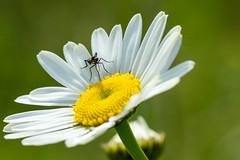 le moustique et la marguerite (yvan turgis) Tags: macro fleur marguerite animaux botanique insecte moustique