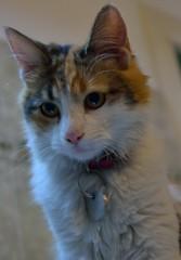 Runi (siinestesiia) Tags: portrait cat photography nikon kitten retrato gatita runi nikond5200