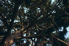 From below (Nicolas -) Tags: camera wood sky france color tree film nature analog vintage perspective 200iso collection ciel 135 arbre couleur bois foca fujicolor c41 yvelines 24x36 nicolasthomas
